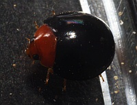 Coccinellidae - Unident